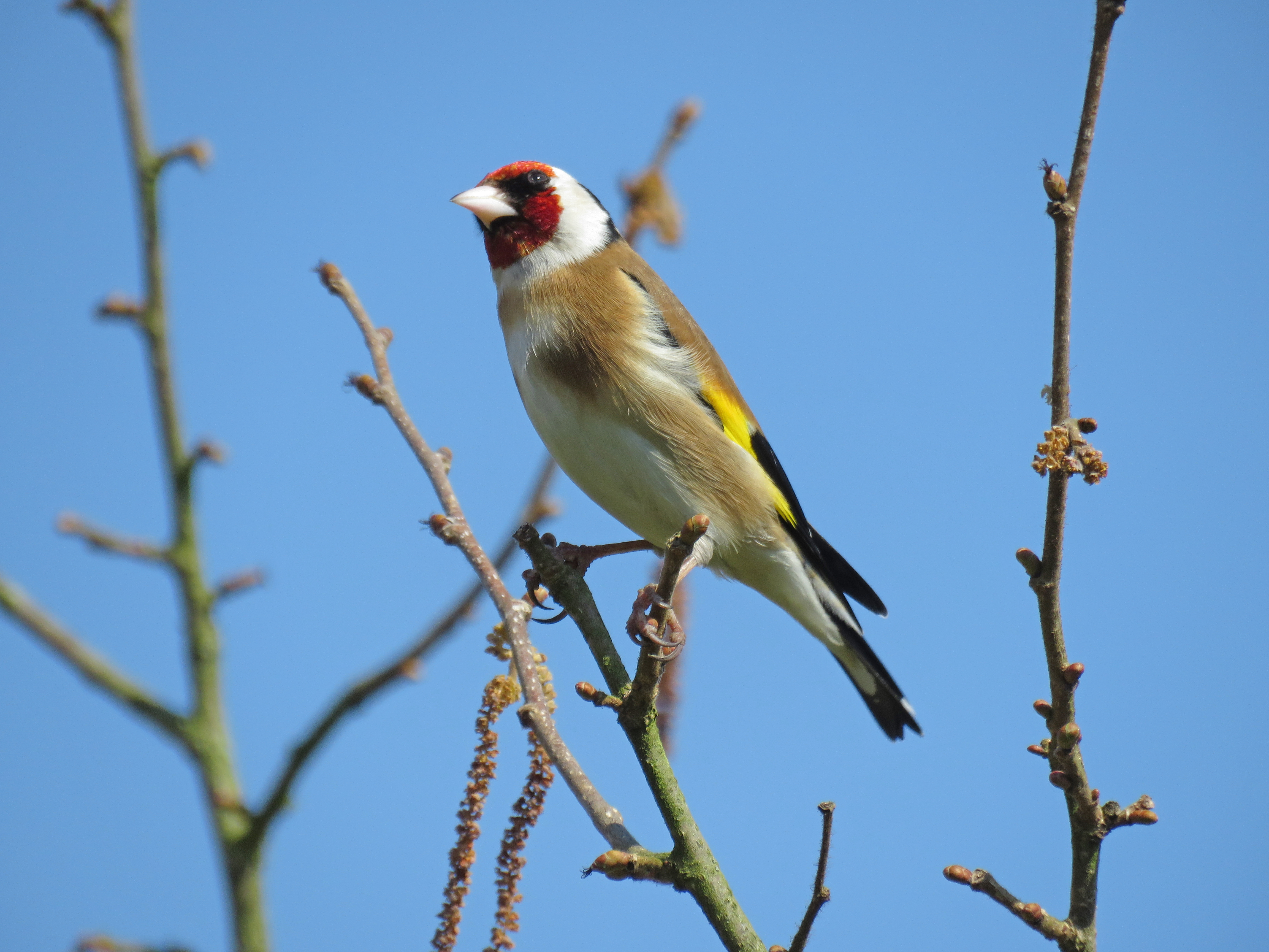 Goldfinch on hazel