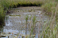 Ditch with waterlilies and bladderwort
