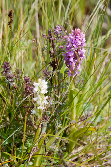 Early marsh orchids