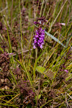 /Narrow-leaved marsh orchid